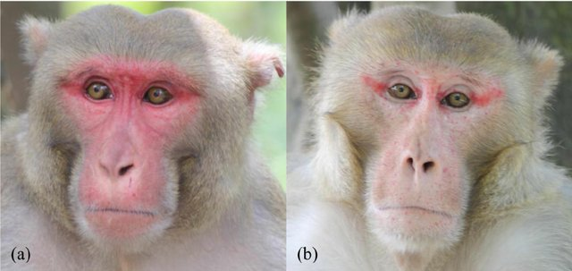 Male macaques during mating season (for What Does Sun Wukong Look Like article)