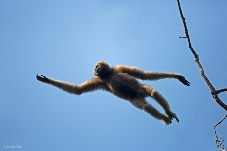 gibbon-jump-sachin-rai