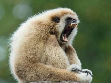 Gibbon yawning
